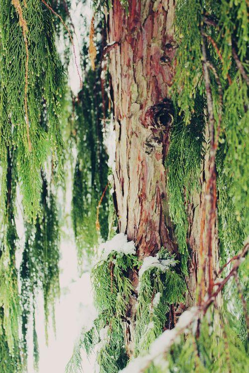cypress tree cupressus sempervirens