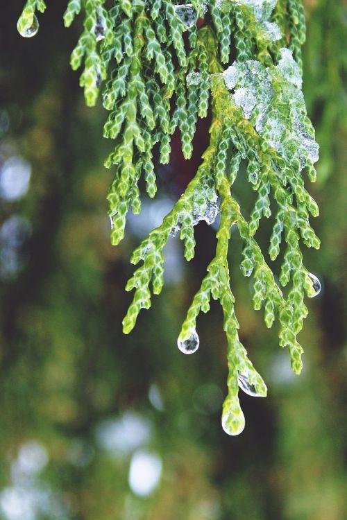 cypress drop of water beaded