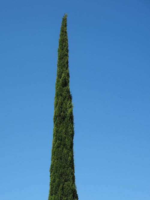 cypress tree real cypress