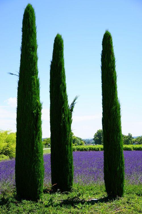 cypress lavender field lavender