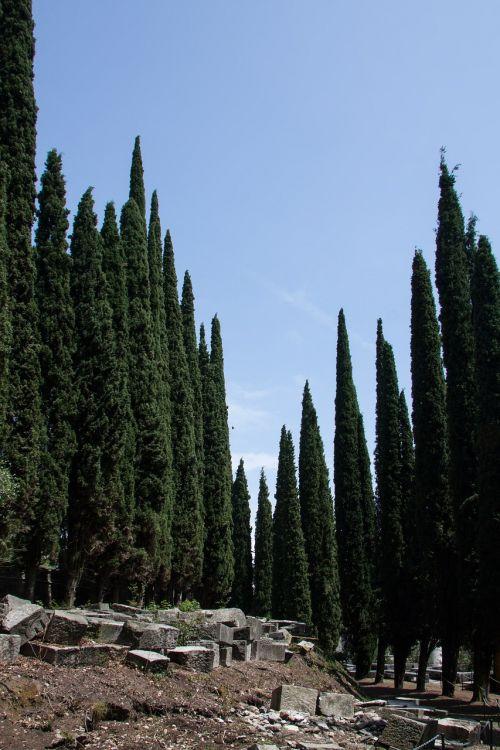 cypress mediterranean cypress cupressus sempervirens
