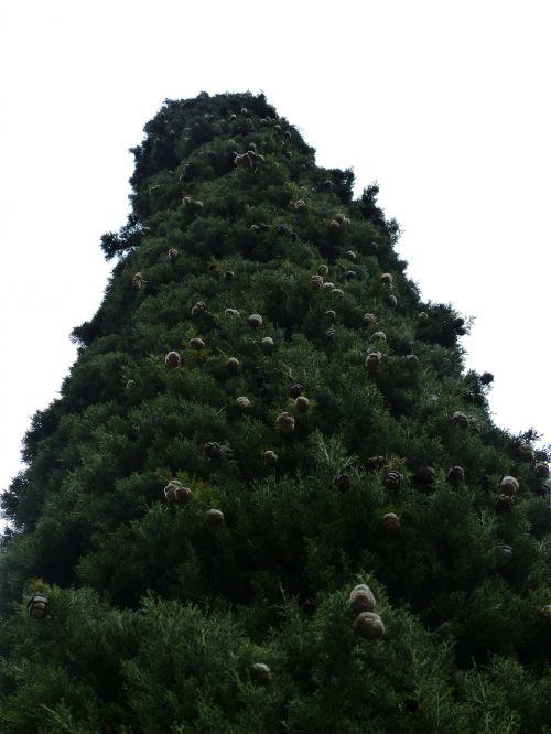 cypress cypress cone cupressus