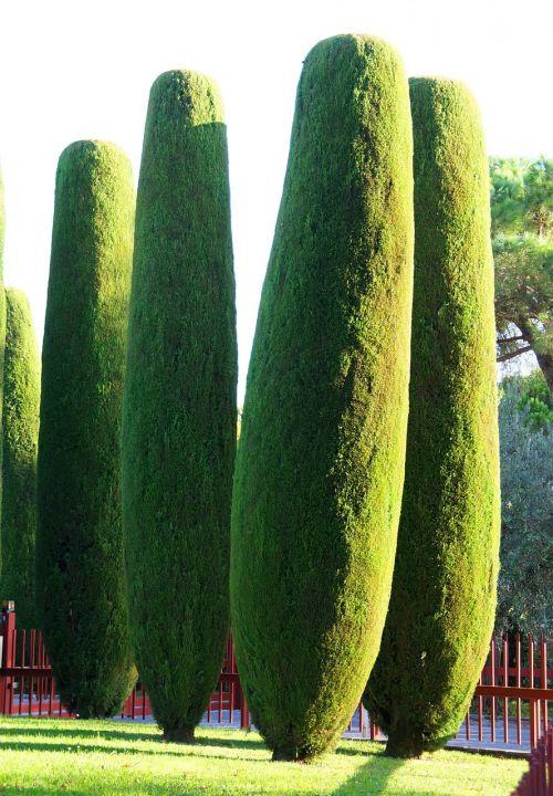 cypress mediterranean cypress säulenzypresse
