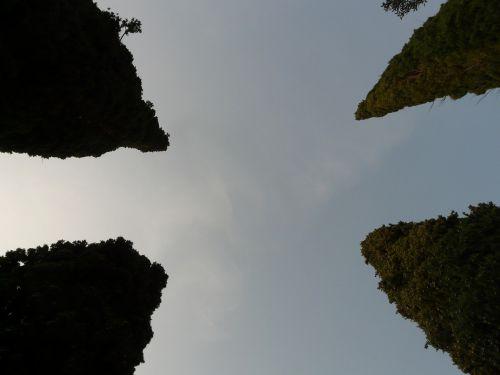 cypress tree treetops