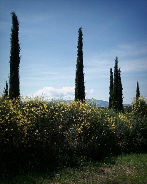 kipariso medžiai,šluotos,kiparisas,apšvietimas,medžiai,medis,italy,Toskana,kraštovaizdis,tylus,medžiai