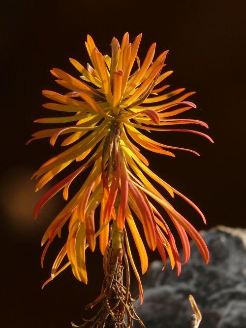 cypress wolfsmilch euphorbia cyparissias spurge family