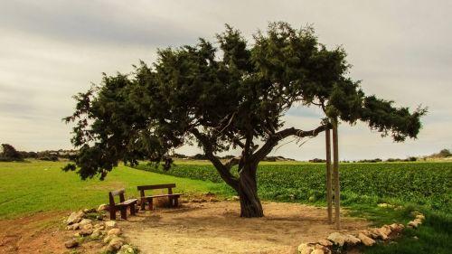 Kipras,cavo greko,medis,vienišas