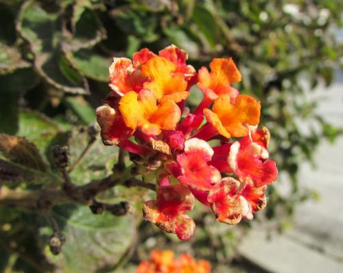 lantana camara big-sage tickberry