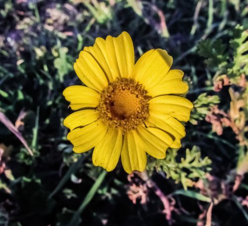 yellow flower arnica plant