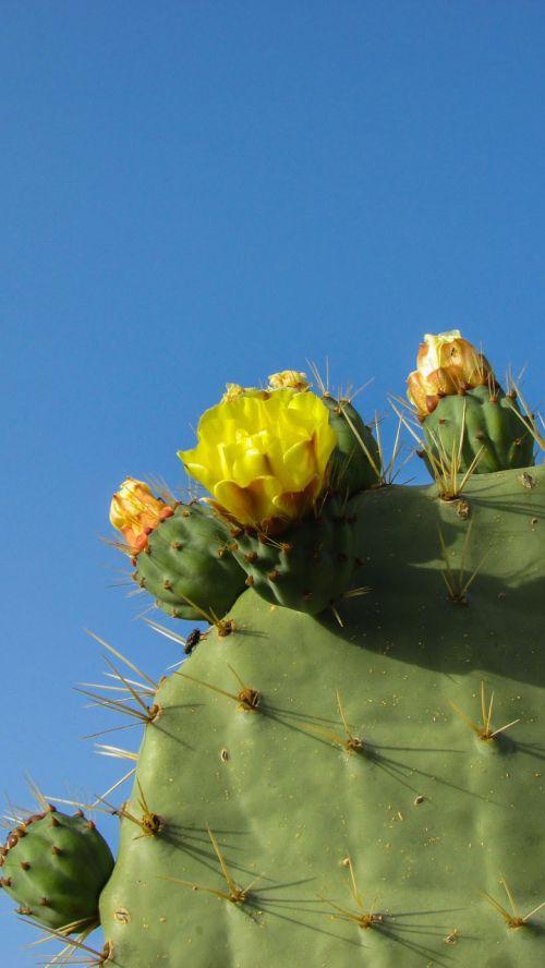 Kipras,ayia napa,kaktusas parkas,kaktusas,erškėčių,augalas