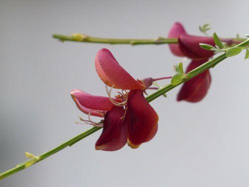 cytisus scoparius blossom bloom