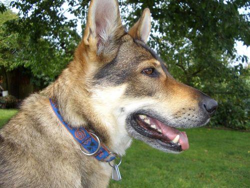 czechoslovak wolf dog luna