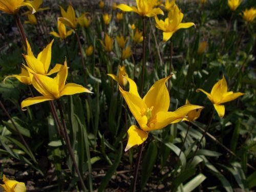 dacha flowers forest tulip