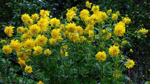 dacha flowers yellow