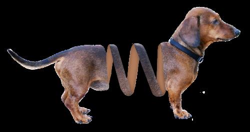 dachshund dog animal