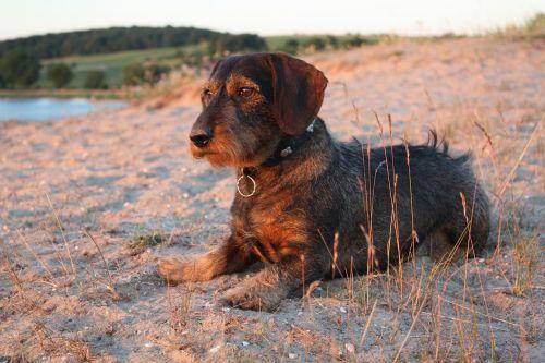 dachshund beach dog