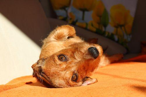 dachshund dog look pet