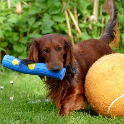 dachshund dachshund dog dog