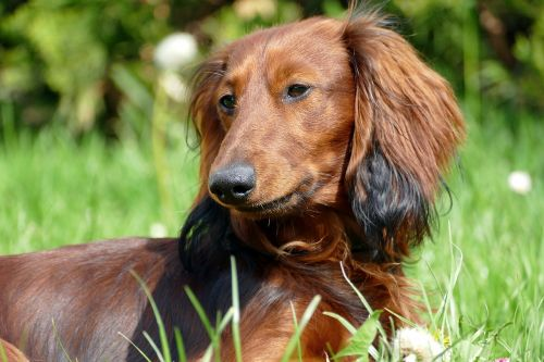 dachshund dachshund dog portrait
