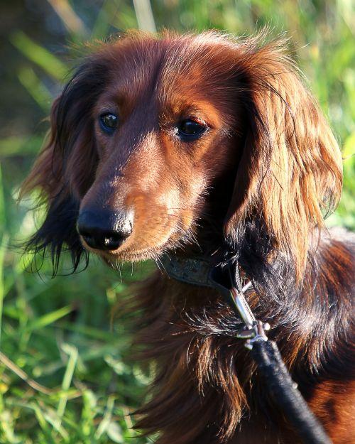 dachshund long hair dachshund dachshund dog