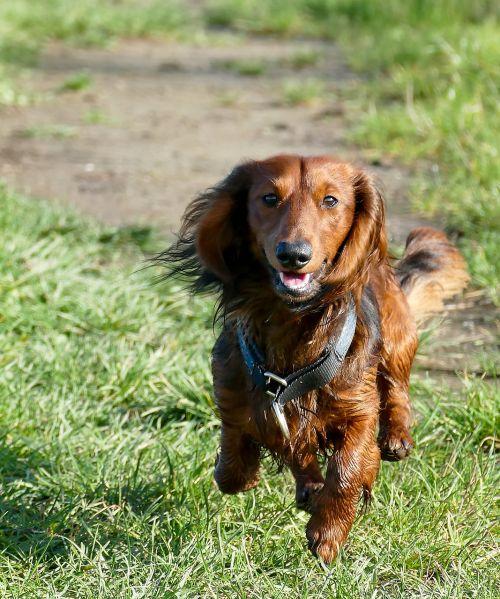 dachshund dachshund dog movement