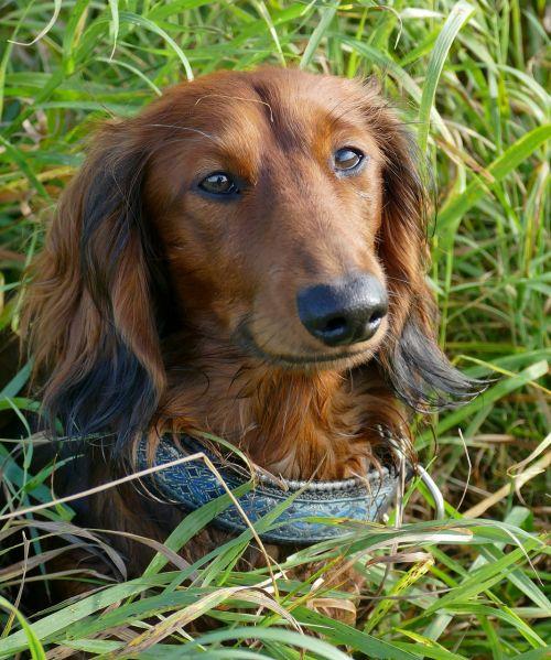 dachshund dachshund dog puppy eyes