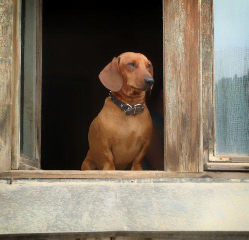 dachshund pet dog