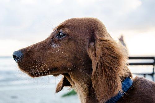 dachshund  long hair dachshund  dog