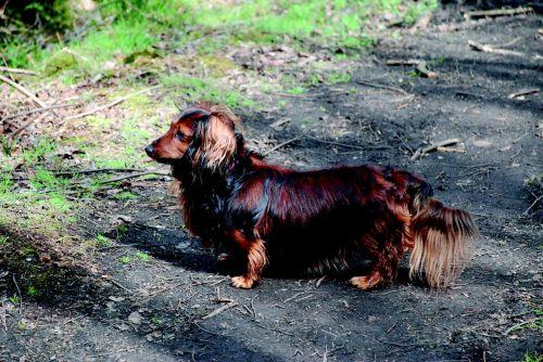 Taksas, šuo, naminis gyvūnėlis, draugai, gyvūnas, gamta, brangioji