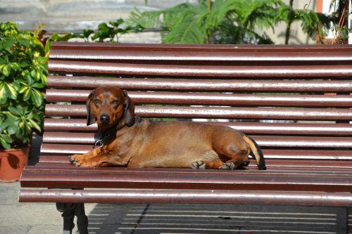 dog dachshund dachshund dog