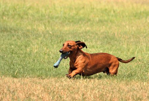Dachshund Dog Running With Toy