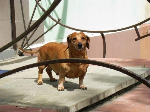 Dachshund Waits For The Host