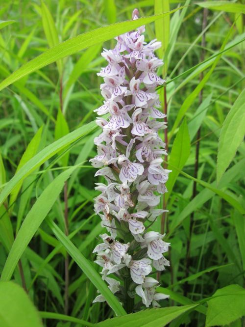 dactylorhiza marsh orchid spotted orchid