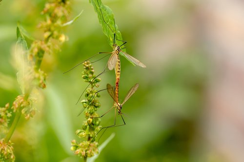 daddy longlegs  insect  mosquitoes