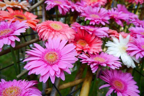 daegu wildflower pink