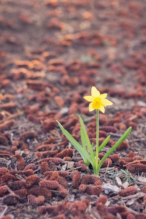 daffodil,vienas,gėlė,vienas,vienas,pavasaris,geltona,žalias,raudona,žydėti