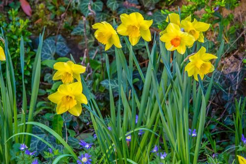daffodil narcissus easter