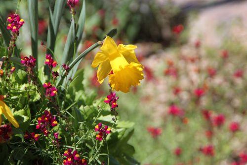 daffodil san antonio botanical garden flower