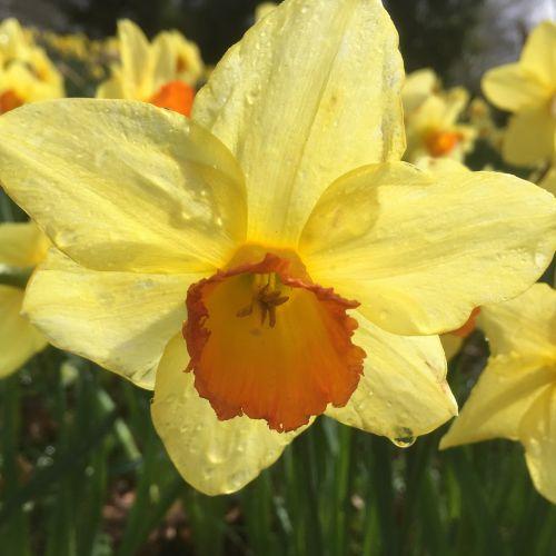 daffodil flower raindrop
