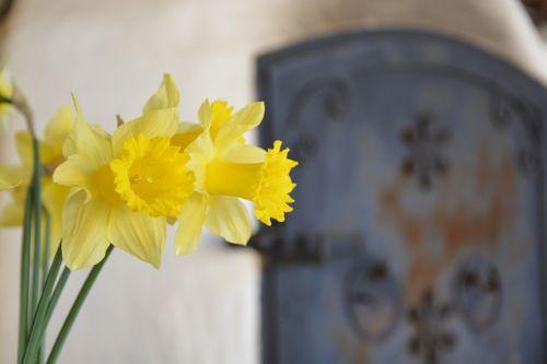 daffodil yellow green