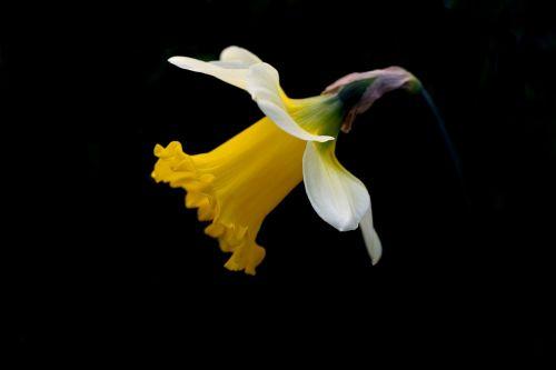 daffodil,pavasaris,juodas fonas,geltona,žiedlapiai,gėlė,gamta,sodas,žiedas,sezonas,pavasaris,žydėti,augalas,Velykos,žydi,natūralus,balta,gyvenimas,augimas
