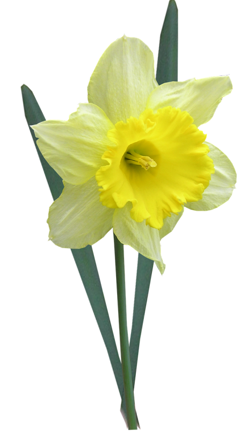 daffodil with leaves stem