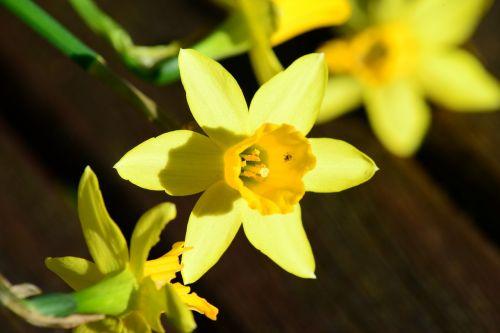 daffodil dwarf daffodil narcissus pseudonarcissus