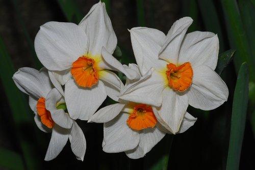 daffodil  bulb  flower in bulb