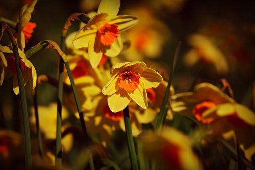 daffodil  flower  bloom