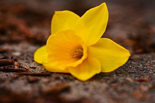 daffodil  flower  plant