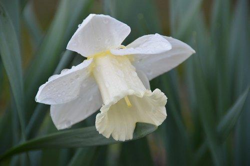 daffodil  spring  easter