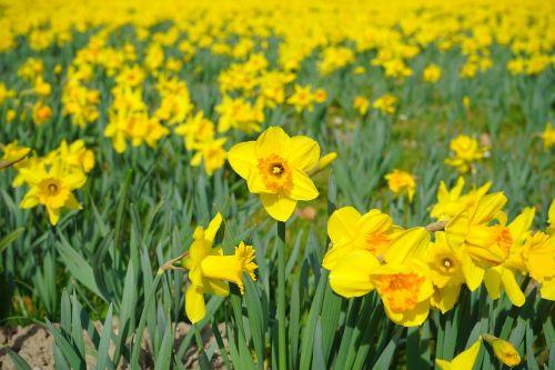 daffodil field flowers sea of flowers