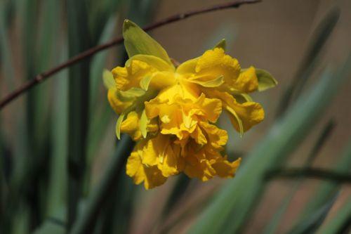 Daffodil Of Spring