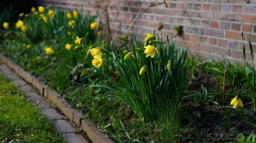 daffodils spring yellow flowers